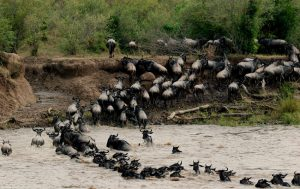 wildebeest_migration
