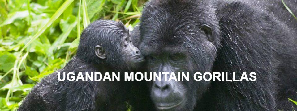 gorilla_kiss