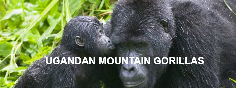 gorilla_kissing