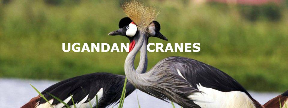 uganda_crane-1