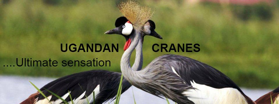 uganda_crane